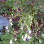 Campanula alliariifolia (Campanula alliariifolia (Ivory bells))