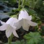 Campanula alliarifolia (Campanula alliariifolia (Ivory bells))