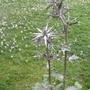 Eryngium_varifolium_miss_marbel