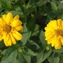 Heliopsis (Heliopsis scabra)
