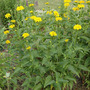 Heliopsis scabra plant (Heliopsis scabra)