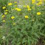 Heliopsis scabra plant (Heliopsis scabra)