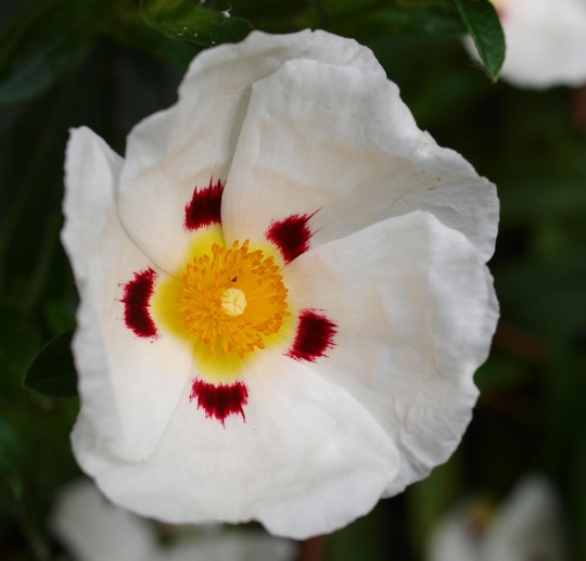 Cistus 1 (Rock Rose) (Cistus x laxus 'Snow White')