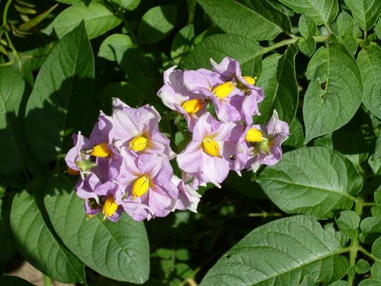 Potato flowers, 'Maris Piper' (Solanum tuberosum 'Maris Piper')