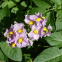 Potato flowers, 'Maris Piper' (Solanum tuberosum 'Maris Piper')