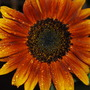 167_sunflower_velvet_queen_2_jul_09