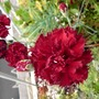 can-can´s (Dianthus caryophyllus (Carnation Can-Can))