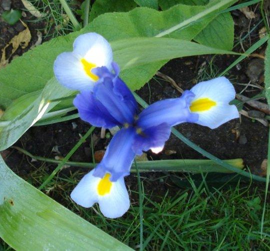 A garden flower photo (Iris douglasiana)