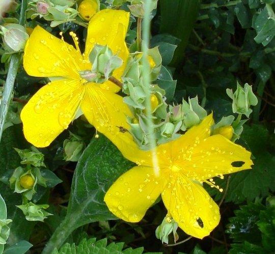 A garden flower photo (Hypericum calycinum)