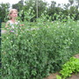 My wife picking peas