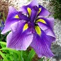 Found another French Iris