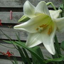 Lillium Longiflorum, white trumpet lily (Lillium Longiflorum)