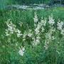 Filipendula Ulmaria (Meadowsweet) (Filipendula ulmaria (Meadowsweet))