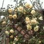 Rosa Lady Hillingdon 2