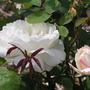 New roses (rosa)