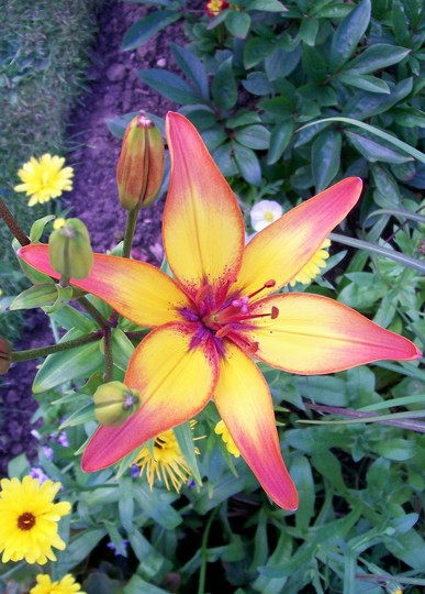 Asiatic Lily 'Cancun' (lilium)