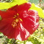 Abutilon....Bella