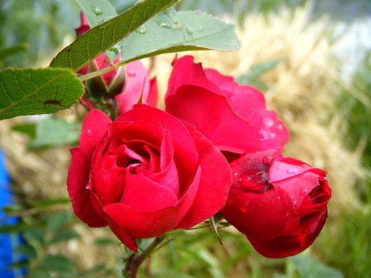 "My Rose ""adelaide"""