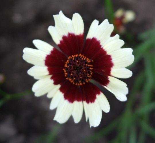 Coreopsis 'Jive' (Coreopsis)