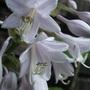 Hosta_flowers