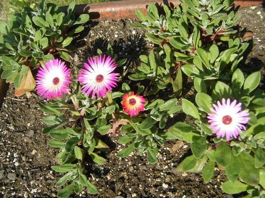 Mesebreanthemum Starts in Wagon