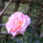 rose: great expectations