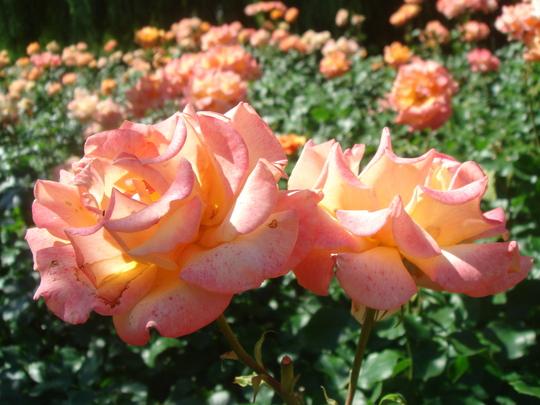 Rose 'Singin' In The Rain' - Regent's Park - June 2009