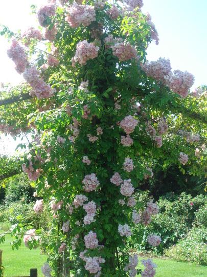 Rose 'Evangeline' - Regent's Park - June 2009