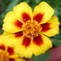 "French Marigold, ""Naughty Marietta"""