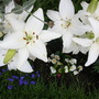 lillies have had a slight attack of the beetle but managed to catch the little beastie.