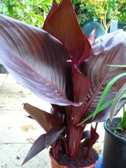 A garden flower photo (Canna indica (Indian shot plant))
