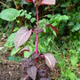 Blazing Rose   (Iresine herbstii (Beefsteak Plant))