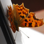 Comma Butterfly on the Conservatory Door