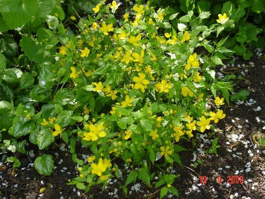 Hypericum calycinum (Rose of Sharon) (Hypericum calycinum)