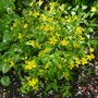 Hypericum_calycinum_rose_of_sharon_