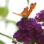 Butterfly on budleigha