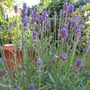 Lavender (Lavandula x intermedia (English Lavender))