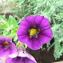 Calibrachoa 'Celebration Violet'