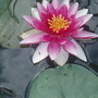 Water Lily (3) (Nymphaea)