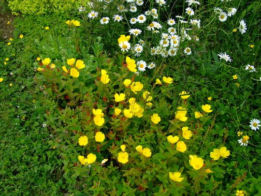 Ozark Sundrops (Evening Primrose) (Oenothera macrocarpa (Yellow Evening Primrose))