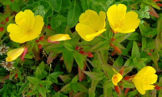 Ozark Sundrops (Oenothera macrocarpa) (Oenothera macrocarpa (Yellow Evening Primrose/Ozark Sundrop))