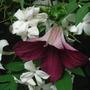 Clematis and jasmine