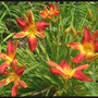 Daylily Open Hearth (Hemerocallis)
