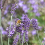 Lavender bee - for Morgana