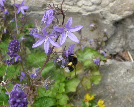 Campanula bee - for Morgana