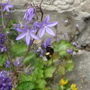 Campanula bee - for Morgana