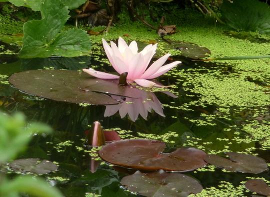 Water Lily - Rosenymphe