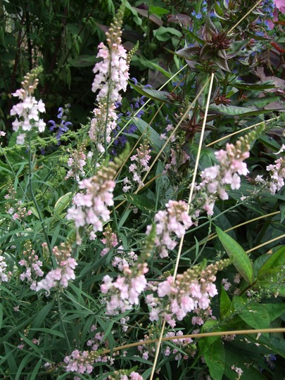 Linaria 'Canon Went' (Linaria purpurea 'Canon Went')