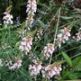 Linaria purpurea 'Canon Went'
