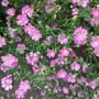 Gypsophila repens 'Rosea' (Gypsophila repens (Alpine Gypsophila))